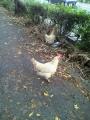 P1001556歩道に鶏が二羽