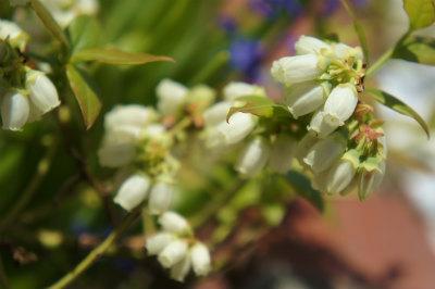 2017ブルーベリーの花