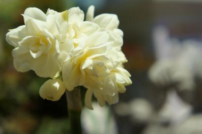 香り水仙白