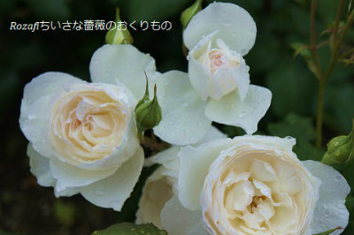 2017年 6月雨の薔薇3