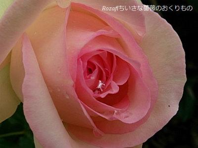 2,017ねん月雨の薔薇4