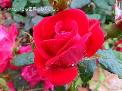 2017 6月雨の薔薇