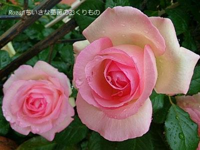2017年雨の薔薇8