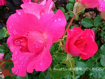 2017年雨の薔薇10