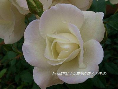 2017年6月雨の薔薇7
