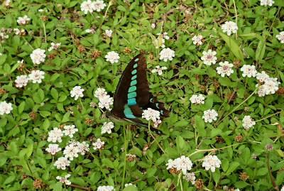 2017広島のアゲハ蝶-crop