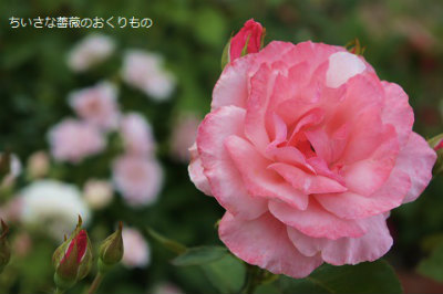 2017年秋の薔薇