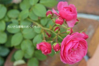 2017年秋の薔薇2