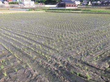 玉ねぎ収穫続く3