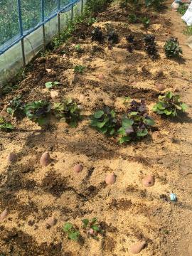 草取り脇芽取り苗植え3