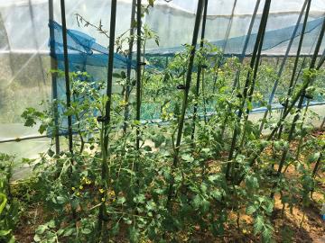 草取り脇芽取り苗植え5
