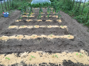 草取り脇芽取り苗植え6