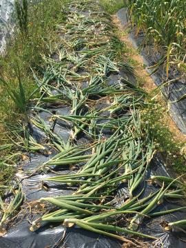 玉ねぎ、ニンニク収穫2