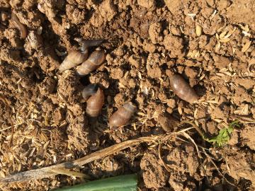 玉ねぎ、ニンニク収穫4