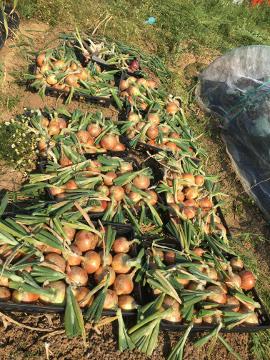 玉ねぎ、ニンニク収穫5