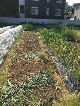 玉ねぎ、ニンニク収穫6