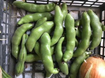 玉ねぎ、ニンニク収穫9