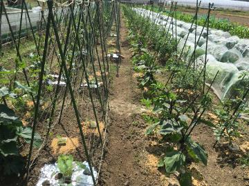 キュウリ続々収穫とカメムシ2