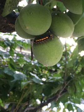 梅に毛虫3