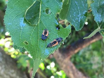 トウモロコシ雌花に花粉