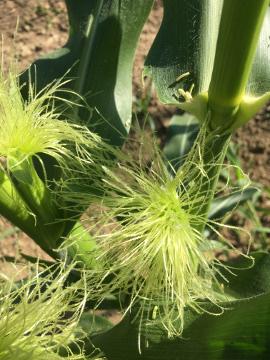 トウモロコシ雌花に花粉3
