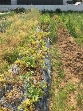ホワイト玉ねぎとニンニク収穫2