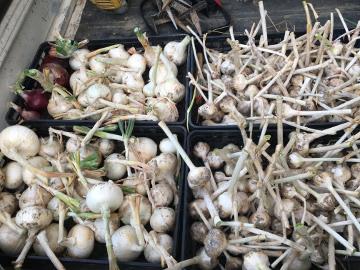 ホワイト玉ねぎとニンニク収穫5