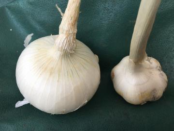 ホワイト玉ねぎとニンニク収穫6