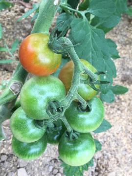 ミニトマトが色付き始めた2