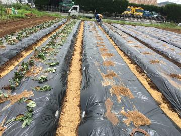 さつま芋苗植え400本2