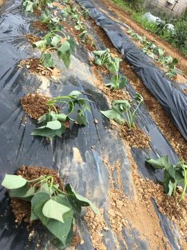 さつま芋苗植え400本3