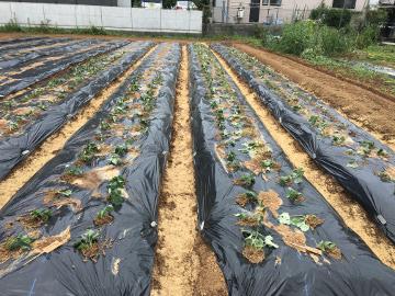 さつま芋苗植え400本5