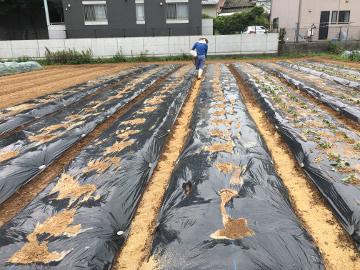 さつま芋苗植え400本7