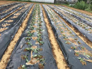 さつま芋苗植え400本8