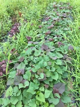 さつま芋苗取り苗植え2