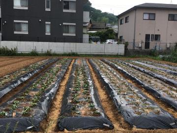 さつま芋苗取り苗植え6