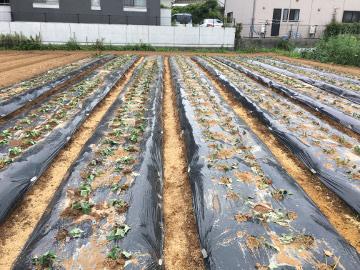 さつま芋苗取り苗植え8
