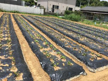 さつま芋苗植え終了9