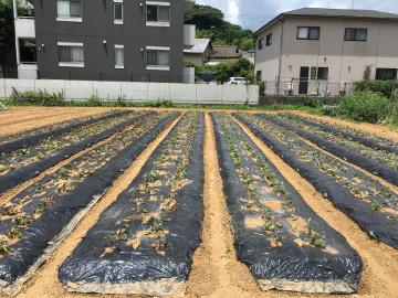 さつま芋苗植え終了10
