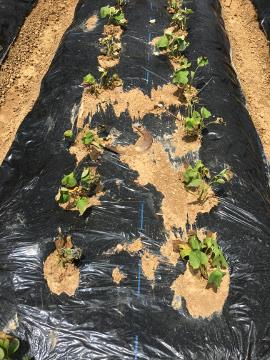 さつま芋苗植え終了11