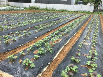 大雨の後の農園や畑4