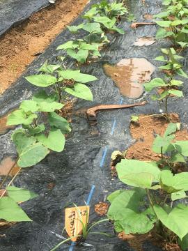 大雨の後の農園や畑5