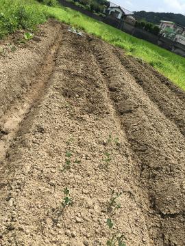 里芋ショウガ残り植え