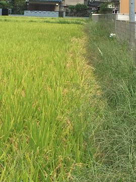 ジャガイモ4畝5