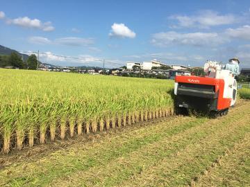 レンゲ米を稲刈り2