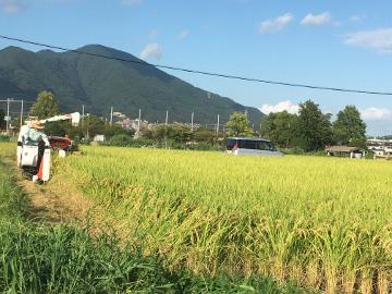 レンゲ米を稲刈り4