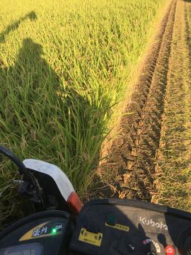 レンゲ米を稲刈り7