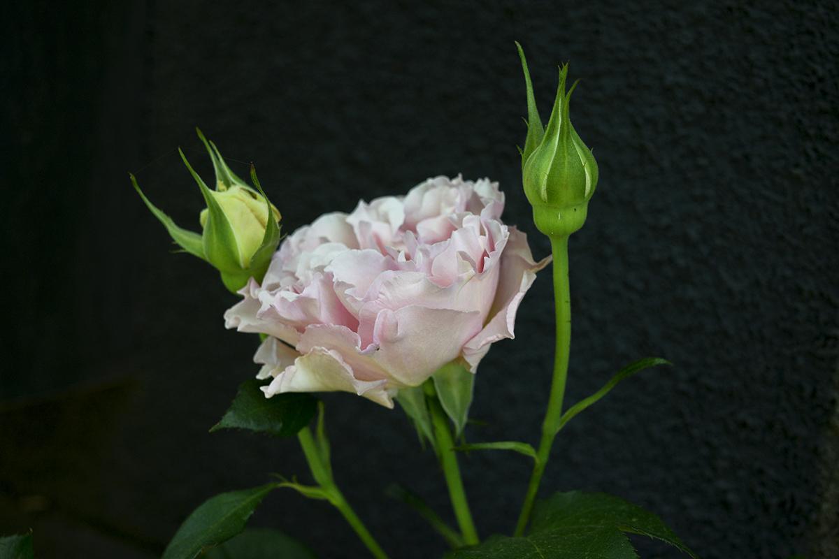 開花したラ・マリエ