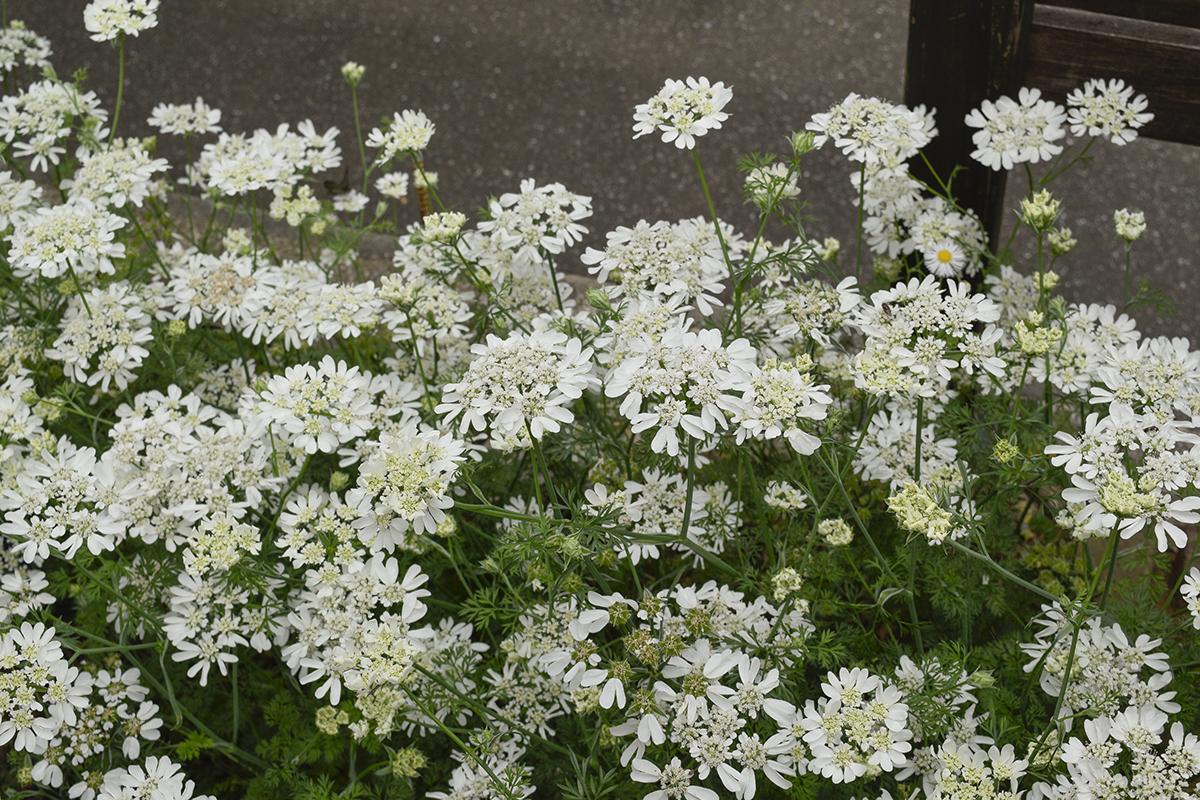 オルラヤの中に一つだけ混ざっている違う花
