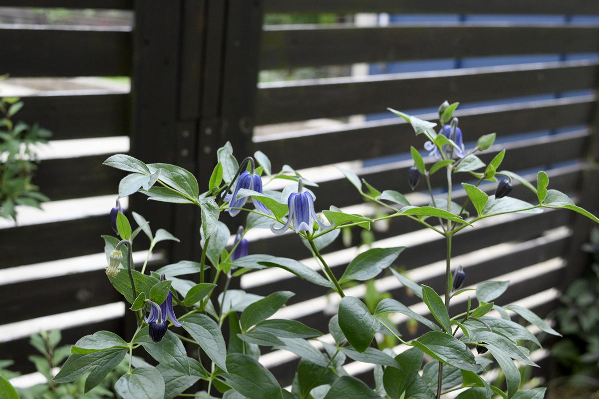 花が青くなってきたクレマチス クリル
